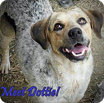 Australian Cattle Dog/Australian Shepherd Mix Dog for adoption in Boaz, Alabama - Dottie