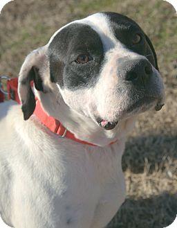 Pointer/Boxer Mix Dog for adoption in Spring Valley, New York - Gomez (MRHS)