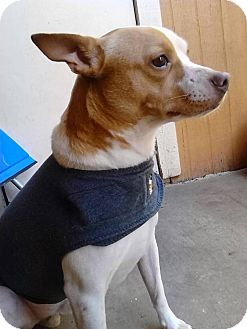 Jack Russell Terrier Mix Dog for adoption in Austin, Texas - Moses In Plano