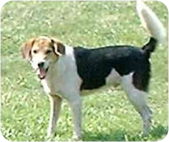 Beagle Mix Dog for adoption in Katy, Texas - Jack