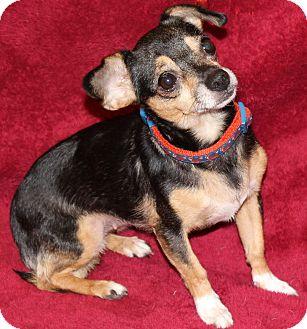 Chihuahua Mix Dog for adoption in Va Beach, Virginia - Nellie