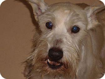 Standard Schnauzer Mix Dog for adoption in Newburgh, Indiana - Elmo~white schnauz