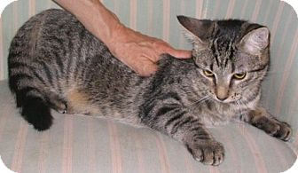 Domestic Mediumhair Kitten for adoption in San Antonio, Texas - Pixie