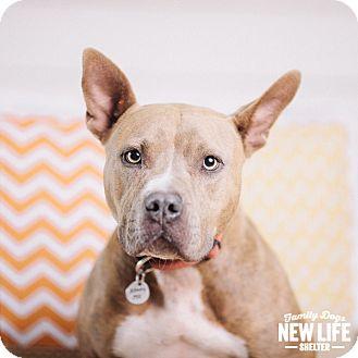 Pit Bull Terrier/Australian Cattle Dog Mix Dog for adoption in Portland, Oregon - Moonlight