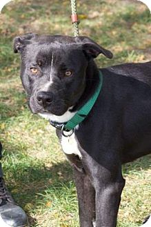 Terrier (Unknown Type, Medium)/American Pit Bull Terrier Mix Dog for adoption in Fulton, Missouri - Mohan- Ohio
