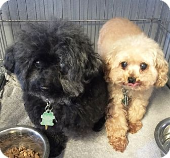 Toy Poodle Dog for adoption in Murrieta, California - Anna (And Honey)