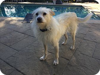 Wirehaired Fox Terrier Mix Dog for adoption in Valley Village, California - Peso (Courtesy Post)