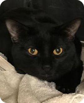 Domestic Shorthair Cat for adoption in Worcester, Massachusetts - Everett
