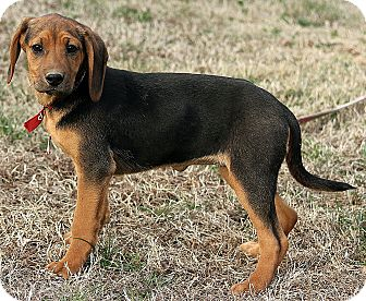 Black and Tan Coonhound Mix Puppy for adoption in Harrisonburg, Virginia - Milly