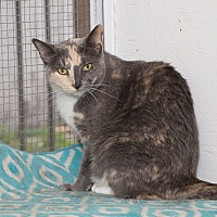 Domestic Shorthair Cat for adoption in Chicago, Illinois - Pretty Girl
