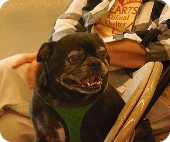 Pug Mix Dog for adoption in Ormond Beach, Florida - Newton