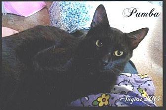 Domestic Shorthair Cat for adoption in Calimesa, California - Pumba