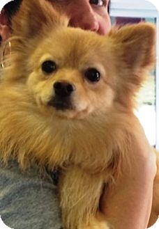 Pomeranian Mix Dog for adoption in Oswego, Illinois - Holli and Tanner