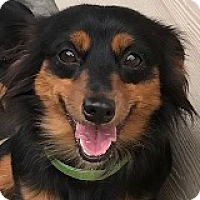 Adopt A Pet :: Riley Rollsroyce - Houston, TX