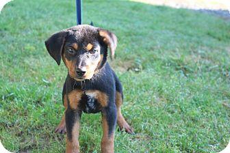 Rottweiler/Shepherd (Unknown Type) Mix Puppy for adoption in Conway, Arkansas - Diane