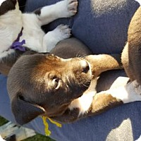 Pit Bull Terrier Mix Puppy for adoption in Custer, Washington - Yogi (Yellow collar)