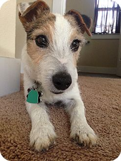 Jack Russell Terrier Dog for adoption in Austin, Texas - Toby