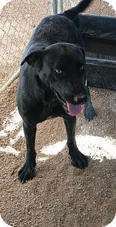 Labrador Retriever Mix Dog for adoption in Las Vegas, Nevada - Shelby