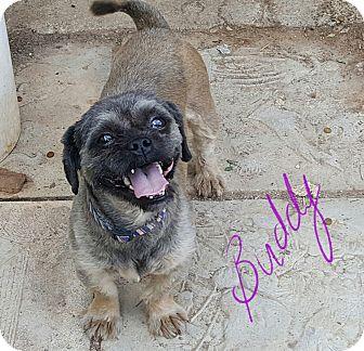 Shih Tzu Puppy for adoption in Albany, North Carolina - Buddy