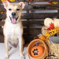 Adopt A Pet :: Harley - Luling, LA
