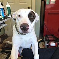 Adopt A Pet :: Livy - Hamden, CT