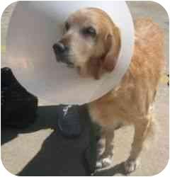 Golden Retriever Dog for adoption in Cleveland, Ohio - Cinnamon