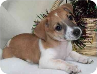 Jack Russell Terrier Mix Puppy for adoption in Thomasville, North Carolina - Tanner