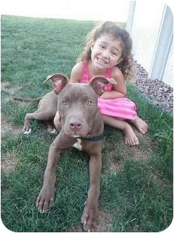 American Pit Bull Terrier/Labrador Retriever Mix Puppy for adoption in Peoria, Illinois - Bryce