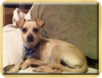Whippet/Chihuahua Mix Puppy for adoption in Scottsdale, Arizona - Tucker