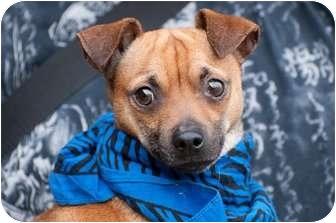 Pug/Miniature Pinscher Mix Puppy for adoption in Marysville, Washington - Rusty