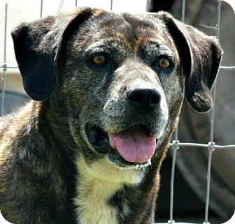 Plott Hound/Labrador Retriever Mix Dog for adoption in Loveland, Colorado - Gerti