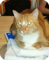 Domestic Shorthair Cat for adoption in Milwaukee, Wisconsin - Cricket