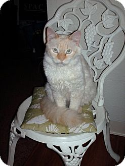 RagaMuffin Cat for adoption in NEWCASTLE, California - Brandy baby blue