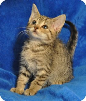 Domestic Shorthair Kitten for adoption in Richmond, Virginia - Alley