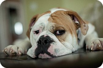 English Bulldog/American Bulldog Mix Dog for adoption in Plainfield, Illinois - Georgia