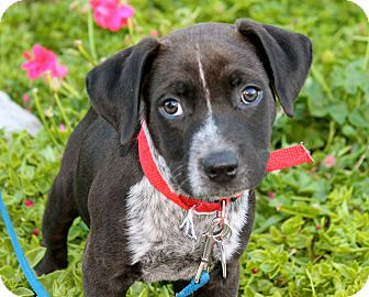 Cattle Dog/Border Collie Mix Puppy for adoption in Los Angeles, California - Blizzard