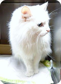 Domestic Longhair Cat for adoption in Marietta, Georgia - SNOW WHITE