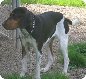 Treeing Walker Coonhound Mix Dog for adoption in Coudersport, Pennsylvania - REMINGTON