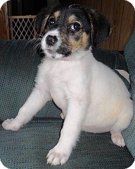 Labrador Retriever Mix Puppy for adoption in New Oxford, Pennsylvania - Topaz