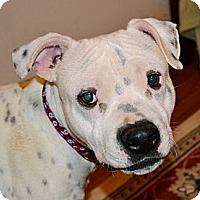Adopt A Pet :: Domino - Reisterstown, MD