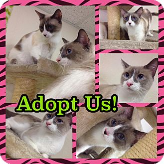 Snowshoe Cat for adoption in Pahrump, Nevada - Clyde