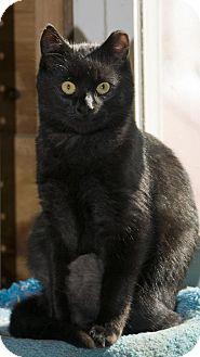 Domestic Shorthair Cat for adoption in Waynesville, North Carolina - Mickey