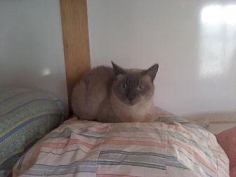 Siamese Cat for adoption in Sherman Oaks, California - Kiana