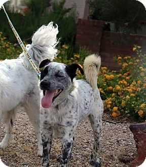 Blue Heeler Mix Dog for adoption in Phoenix, Arizona - Salang