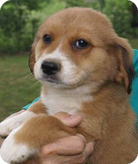 Cocker Spaniel Mix Puppy for adoption in Plainfield, Connecticut - Tia