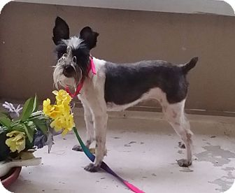 Miniature Schnauzer Mix Dog for adoption in Winter Haven, Florida - Molly