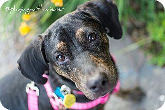 Labrador Retriever Mix Puppy for adoption in Toronto, Ontario - Hope
