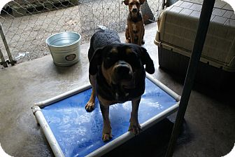 Rottweiler Mix Dog for adoption in Henderson, North Carolina - Mars*