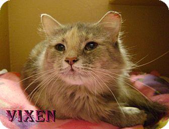 Domestic Mediumhair Cat for adoption in Covington, Kentucky - Vixen