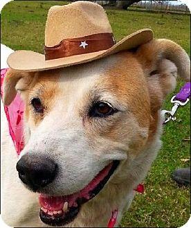 Labrador Retriever/Collie Mix Dog for adoption in Simsbury, Connecticut - Riley